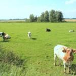 koeien heusden altena