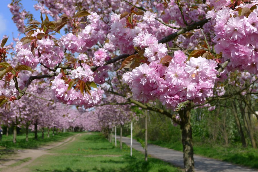 Kirschblütenallee in Berlijn